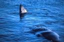 Sperm-Whale-5438