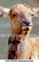 radio-collared-cow-elk_~K76-370320