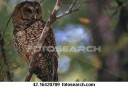northern-spotted-owl_~42-16420709