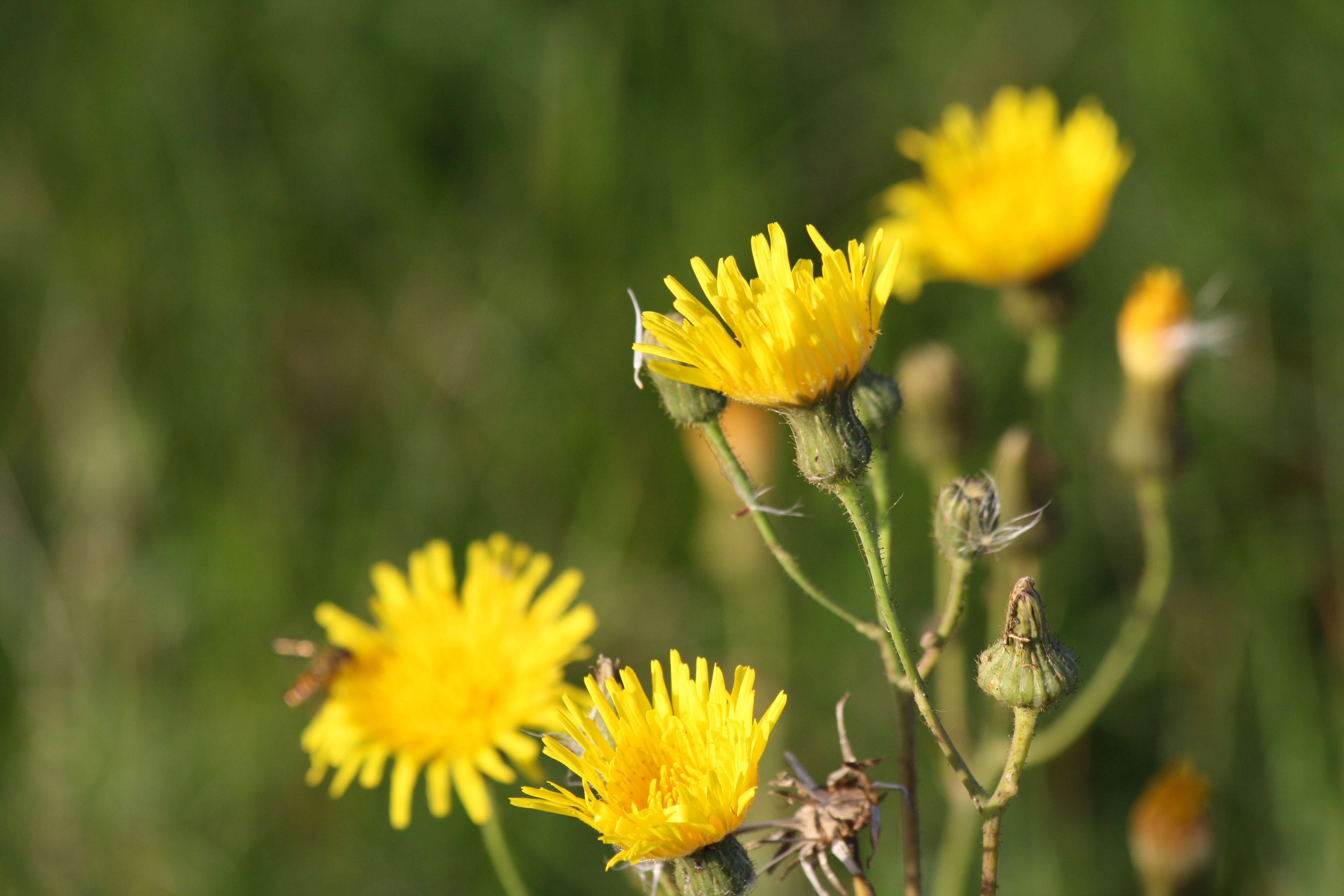 Flora Corn Sow Thistle Have To Think About Other Things Than