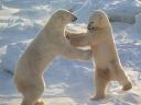 Polar_Bear_Photos_Free