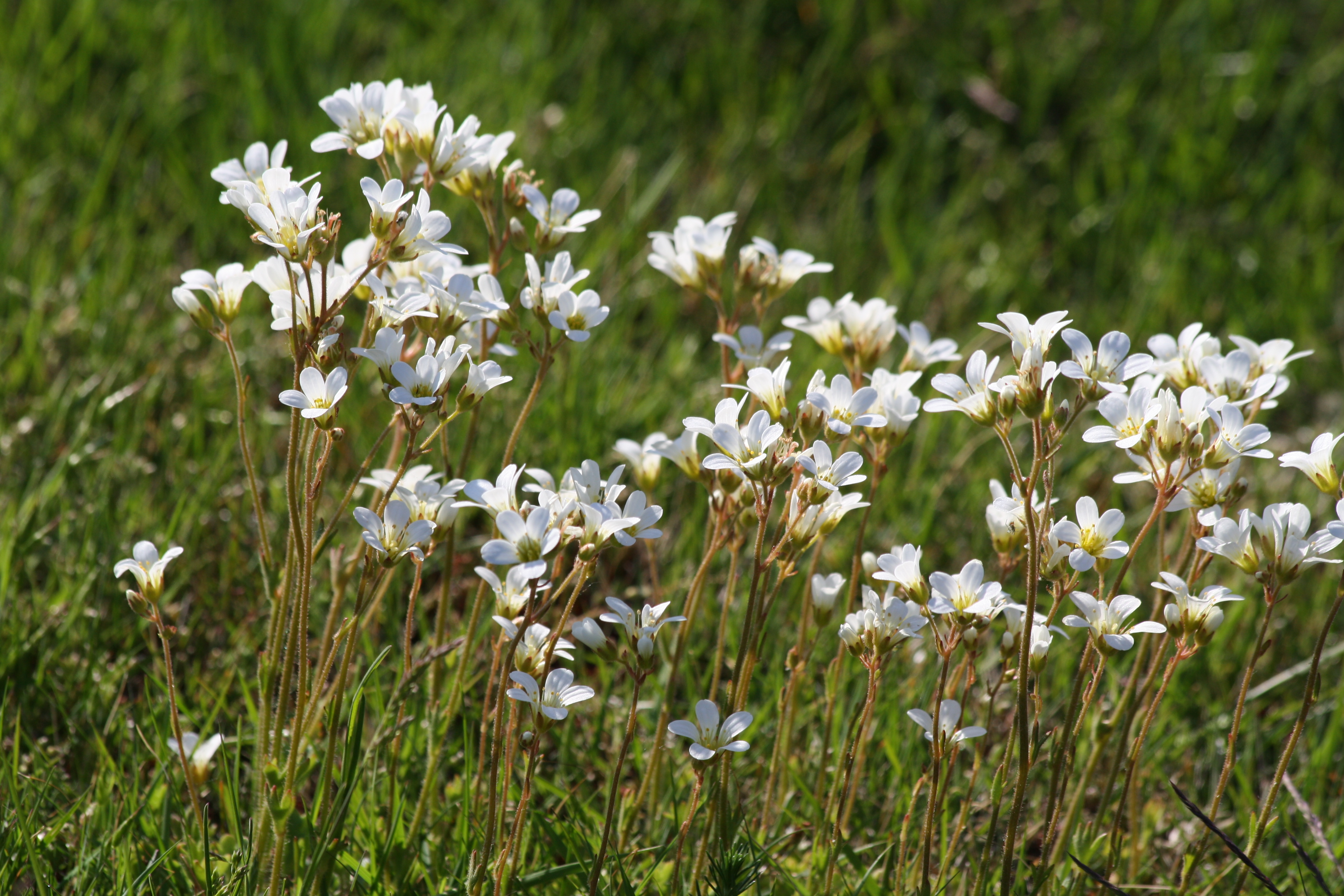 Todays flower no 1 meadow saxophrage mandelblomma ann novek the delicate snow white five petalled flowers and long stalked kidney shaped leaves are distinctive features of the meadow saxifrage and are not shared mightylinksfo