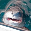 porbeagle head sticking out of water_Steve Campana
