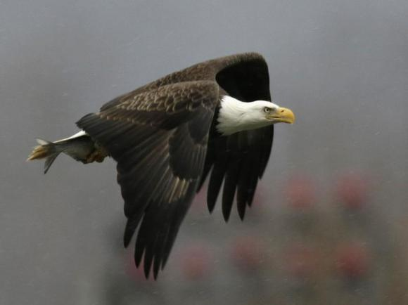 Bald eagle returns to nest after catching fish at Conowingo Dam on the Susquehanna River in Maryland