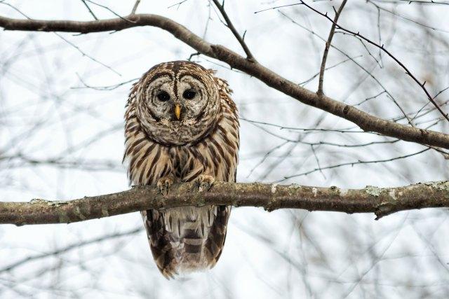 Barred-Owl-on-Lake-Montclair