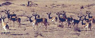 saudi gazelle