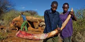 elephant poaching in Kenya
