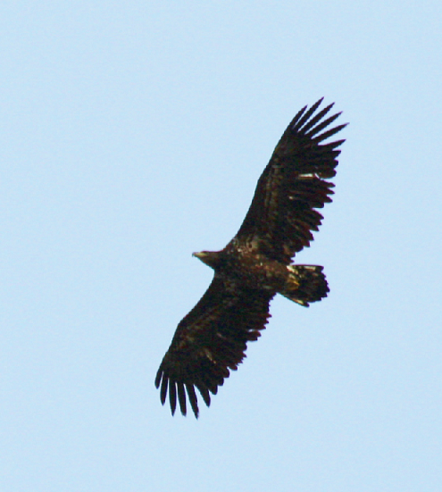 Sea Eagle 1 April