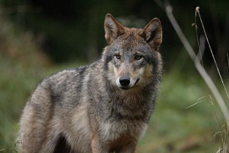 Wolf_Valeri-Stserbatyh