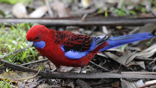 Scientists previously thought birds had no sense of smell, until crimson rosellas proved them wrong.