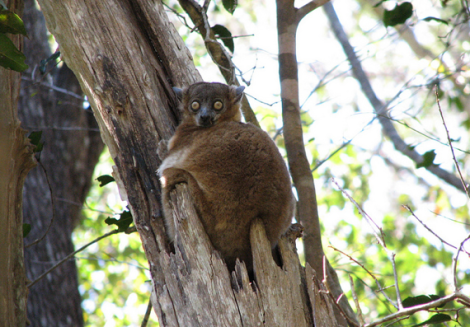Sportive lemur by Flickr user NH53