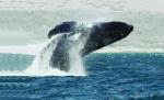 Arabian_Humpback_Whale_-_Amazing_findings_in_Oman_Sea