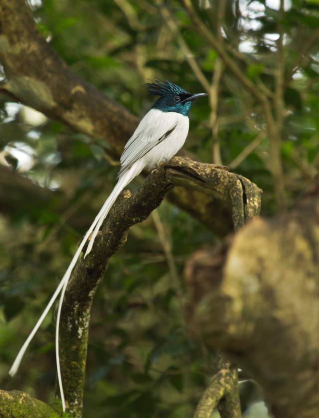Asian Paradise Flycatcher by Brinda Suresh - RAXA Collective