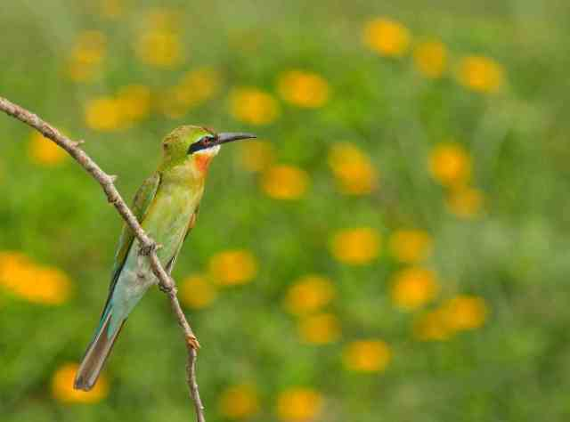 Blue-tailed bee-eater by Brinda Suresh - RAXA Collective