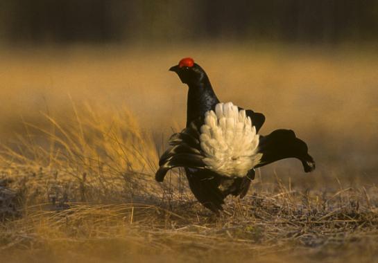 Black grouse (Photo : Flickr: Francesco Veronesi)