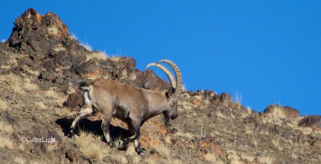 bull ibex walking downslope n