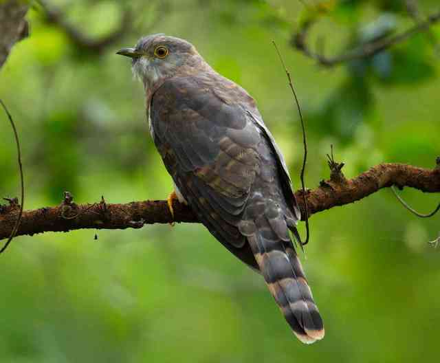 Common Hawk Cuckoo by Sudhir Shivaram - RAXA Collective