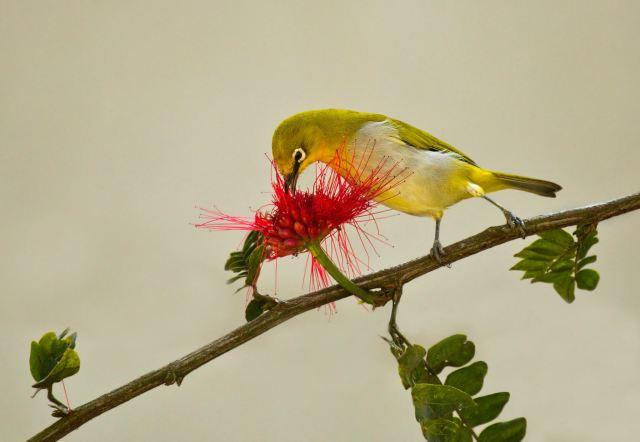 Oriental White-eye by Brinda Suresh - RAXA Collective