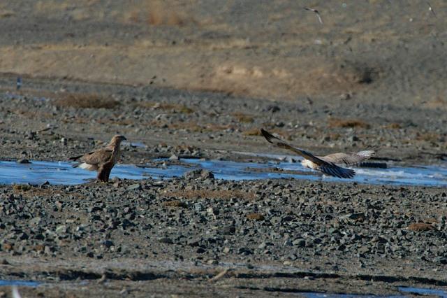 rough legged hawk pair