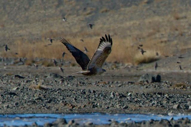 rough legged hawk wheatears