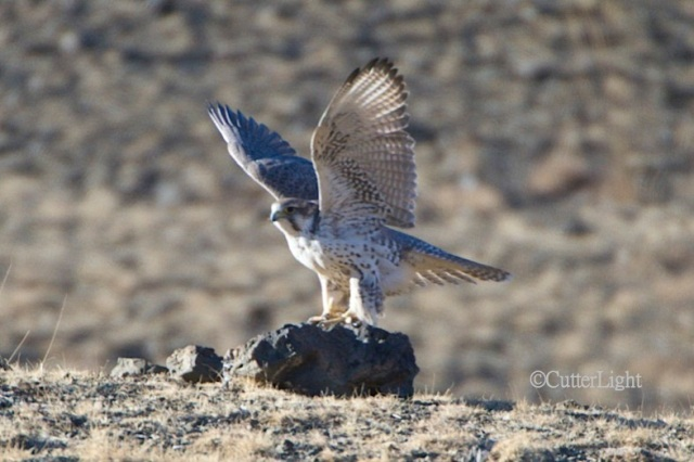 Saker falcon n