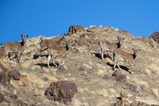 young & female ibex yolyn am 2 n